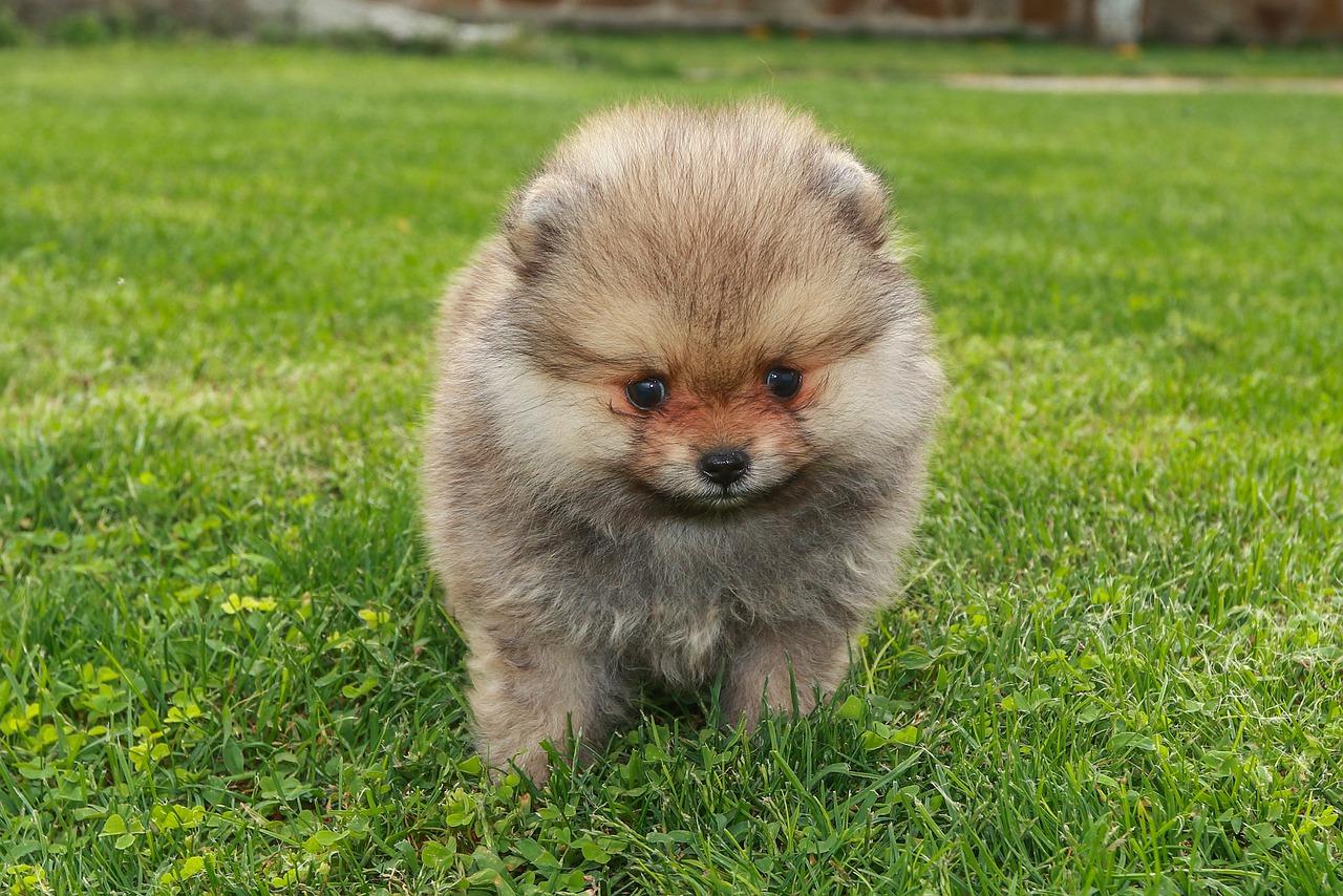 Pomeranian – charakter